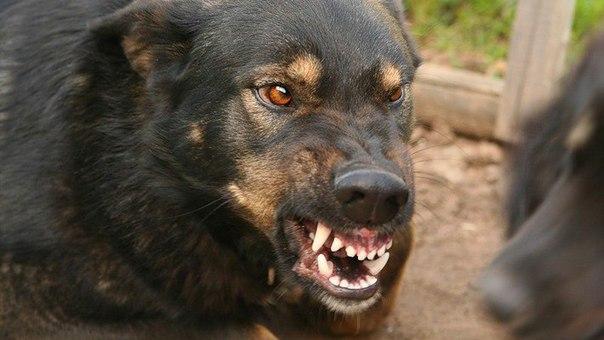 в Югре собаки загрызли мужчину