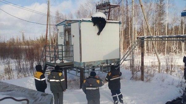 медведя убило током