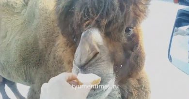 Тюмень верблюд
