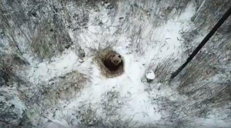 медведь снежинск