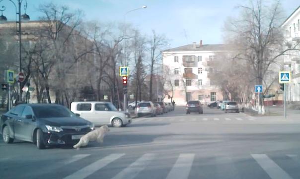 Собака выбежала под колеса автомобиля в центре Тюмени