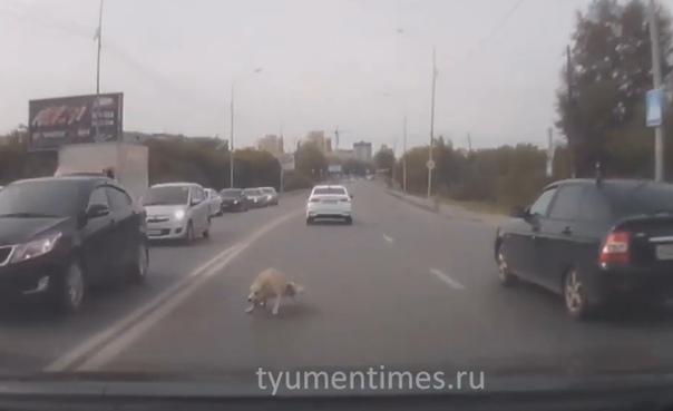 Собака выбежала прямо под колеса автомобилей на улице Щербакова в Тюмени