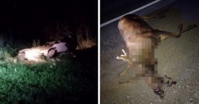 Вечером под Тюменью легковушка сбила лося