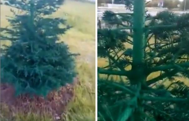 В Когалыме к приезду министра спорта покрасили елки и траву
