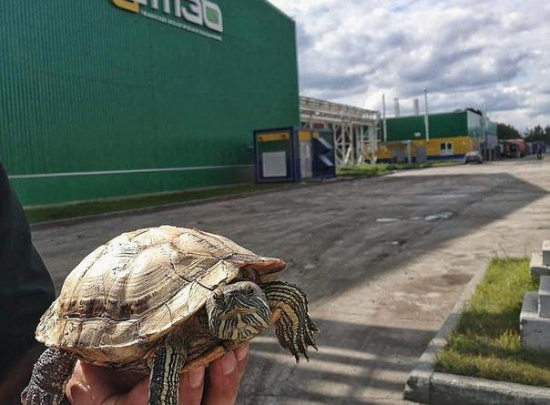 """""""Выжила после плиты мусоровоза и ножей пакеторазрывателя"""". На ленте мусоросортировочного завода нашли живую черепаху"""