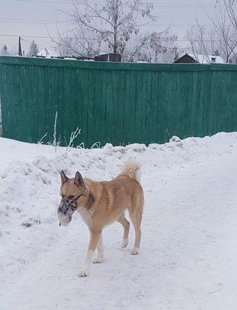 Тюменцы обеспокоены судьбой собаки, бегающей в обледеневшем наморднике