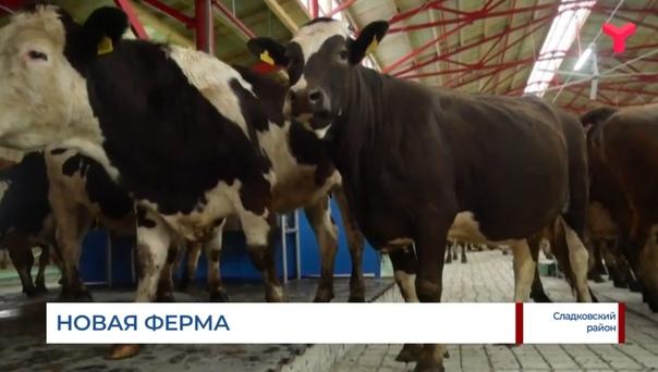 """""""Бруцеллёз не лечится, скот подлежит сдаче на промпереработку"""". Что происходит на новой ферме в Сладковском районе?"""